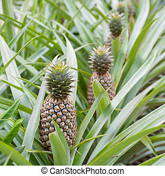Pineapple fruit farm growing