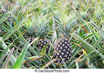 Pineapple in the field.
