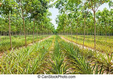 Pineapple plant field in rubber garden in Thailand.