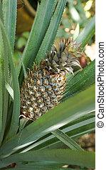 Pineapple plant field in rubber garden