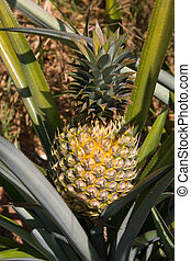 Pineapple plant - Fresh tropical pineapple planting in farm,...