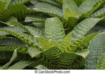 Pineapple plant. - Pineapple plant, Neoregelia Spectabilis...