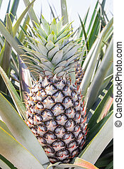 Pineapple plant - Young pineapple tree in plant close up