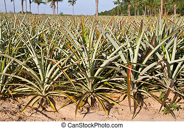 Pineapple plant in the farm