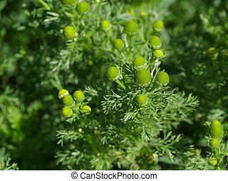Pineappleweed green flowers