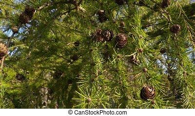 Pinecone on pine tree in autumn