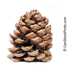 Pinecone - pinecone on a white background, natural light.