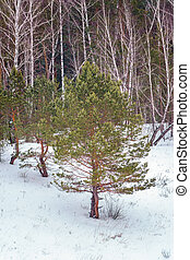 Pines and birches in the winter forest