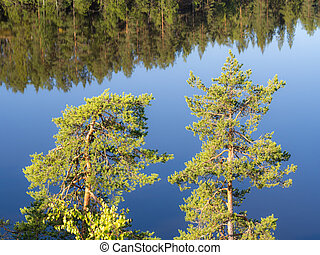 pines and reflections