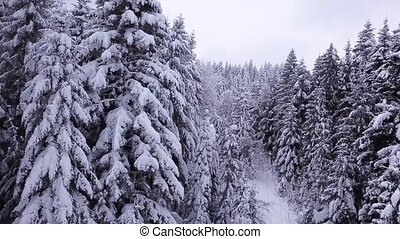 Pines are snow covered . Aerial view - Pines are snow...