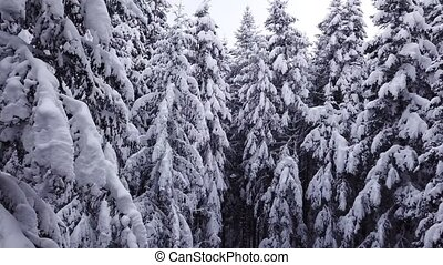 Pines are snow covered shooting . Aerial view - Pines are...