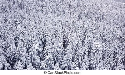 Pines are snow covered shooting with copter . View from...