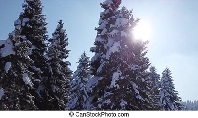 Pines are snow covered . View from above. Aerial view -...