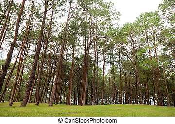 Pines growing on the grassy knoll.