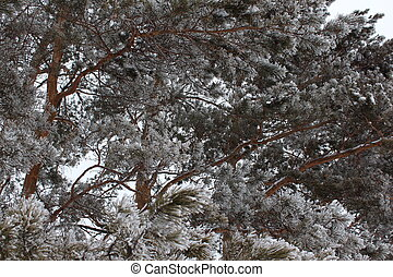 Pines in hoarfrost