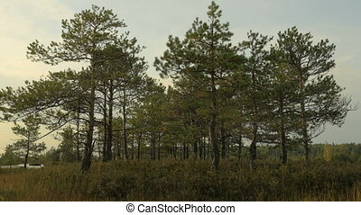 Pines in the forest. Autumn daytime. Smooth dolly shot