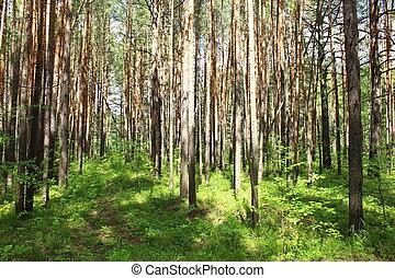 Pines in the forest lighted by the sun, Krasnoyarsk region