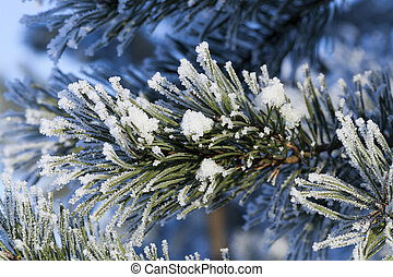 Pines in the frost