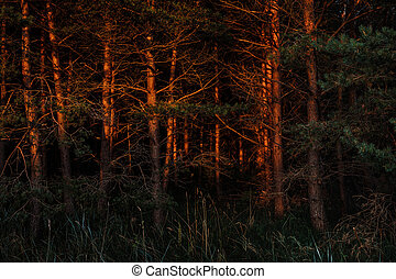 Pines in the rays of the evening sunset