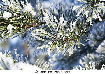 Pines in the rime