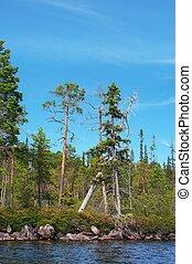 pines on lake coast