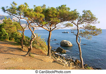 Pines on the shores Sea