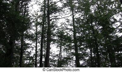 pines, swaying