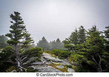 Pines trees in fog, at Grandfather Mountain, North Carolina.
