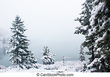 Pines under snow in winter forest