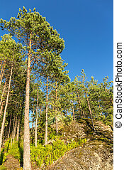 pinewood - sunny landscape in summer forest with rocks and ...