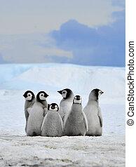 pingüim imperador