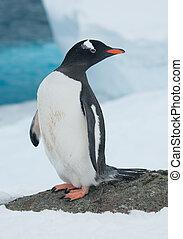 pingüino de gentoo, (pygoscelis, papua), en, el, plano de fondo, de, el, iceberg.