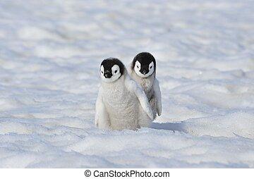 pingüino, emperador