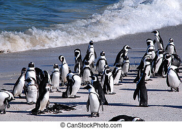 pingüinos africanos, en, boulder, beach(south, africa)