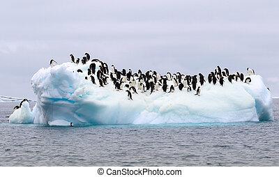 pingüinos de adelie, en, un, floe del hielo