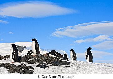 pingüinos, roca
