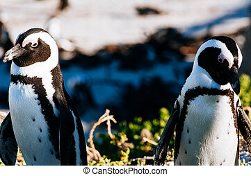 pingüins africanos, ligado, pedregulhos, praia