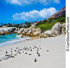 pingüins, praia, arenoso, africano