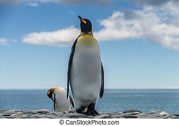 pingüins rei, salisbury, planícies