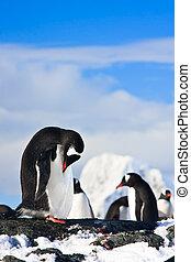 pingüins, rocha