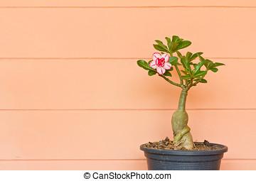 Ping Bignonia in flowerpot
