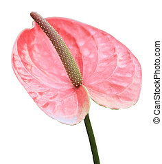 Ping flamingo flower stock photo search pictures and photo clip ping flamingo flower mightylinksfo Images