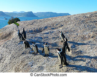 pingouins, sud-africain