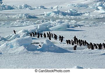 pinguin, gruppe, führer