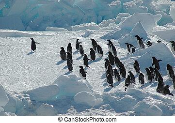 pinguin, gruppe, mit, führer