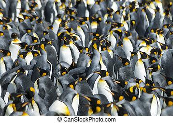 pinguini re, colonia, a, georgia sud