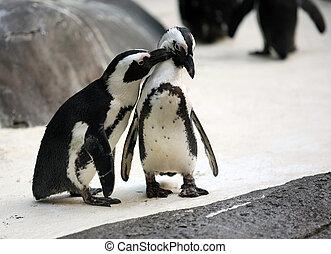pinguino, coppia