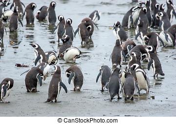 pingvin, álló, part, alatt, chile