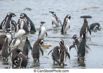 pingvin, part, alatt, chile