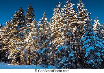 pinho, amanhecer, inverno, floresta, árvores, paisagem